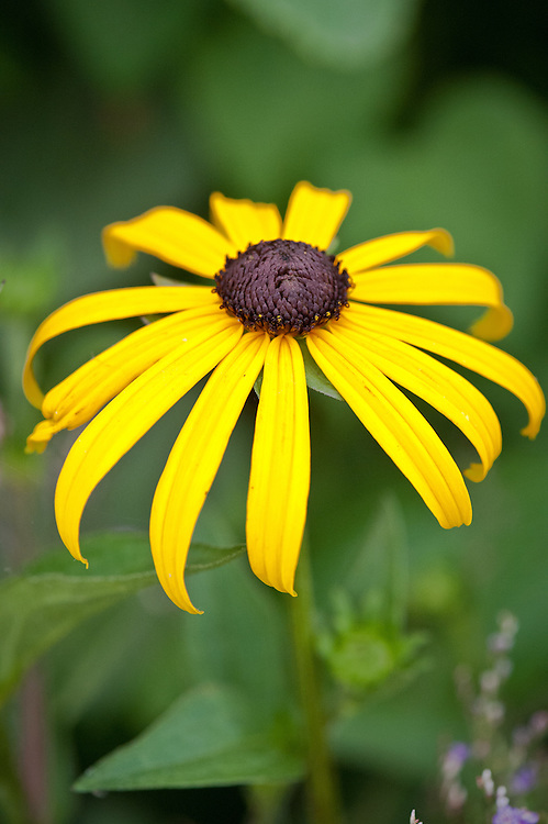 Rudbeckia fulgida 'Goldsturm', early July. Commonly known as Black-eyed Susan.