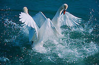 Mute swan (Cygnus olor), males fighting, Flachsee, Aargau, Switzerland