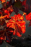 autumn colours vineyard quinta do cotto douro portugal