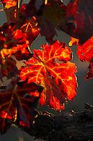 autumn colours vineyard quinta do cotto douro portugal