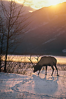 Rocky Mt. Elk Bull, Winter, Northern Rockies