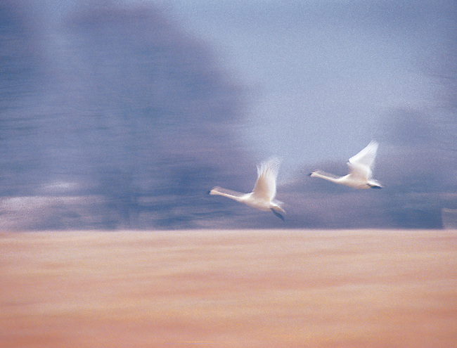 Soft Abstract Image of Two Trumpeter Swans in Flight, San Juan Island, Washington State