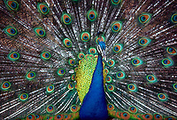 Peacock, detail of body and spread tailfeathers, Florida