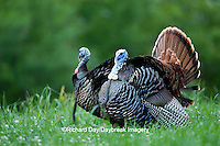 00845-07212 Eastern Wild Turkeys (Meleagris gallopavo) gobblers strutting in field, Holmes Co., MS