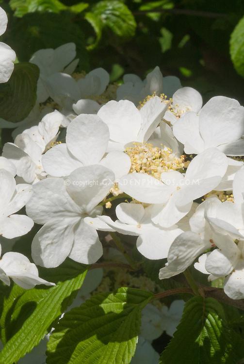 Viburnum plicatum var. tomentosum in flower in spring