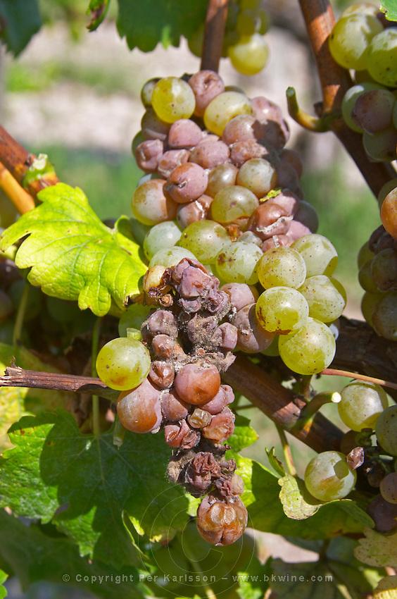 Bunches of ripe grapes. Very uneven nobel rot. Sauvignon Blanc. Chateau Guiraud, Sauternes, Bordeaux, France