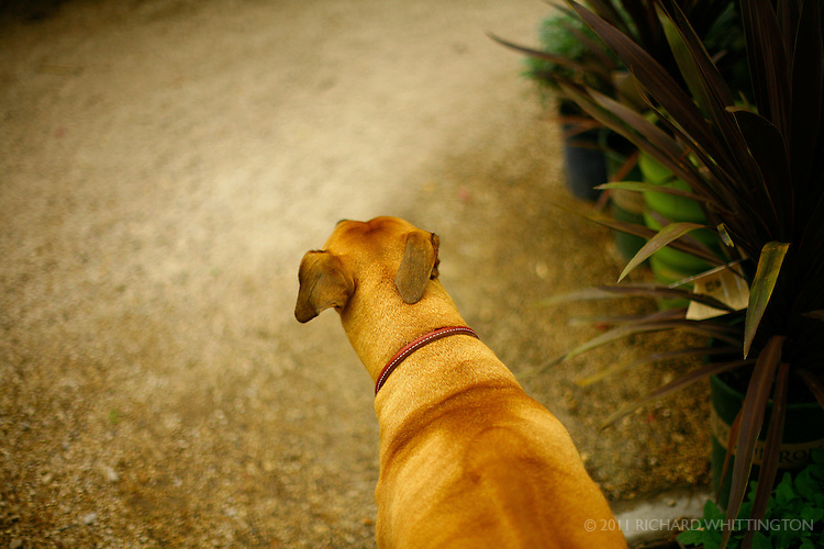 A full grown ridgeback saunters down a gravel path, ears flopping from side to side.