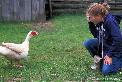 Young girl taking a picture of a farm goose