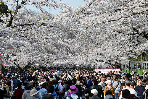 March 30, 2015, Tokyo, Japan - Thousands of visitors throng Ueno Park to view cherry blossoms in full bloom on sunny Monday, March 30, 2015, as the nation's capital appreciate their ethereal, ephemeral, delicate beauty in accord with centuries-old tradition.  (Photo by Natsuki Sakai/AFLO)