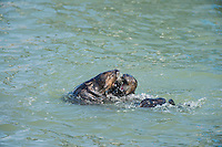 Two Southern Sea Otters (Enhydra lutris nereis) playing and/or dominance behavior.  Central California Coast.  This could be two otters playing or sometype of dominance/mating behavior.