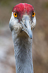 Canada, British Columbia,  George C. Reifel Migratory Bird Sanctuary, sandhill crane (Antigone canadensis)