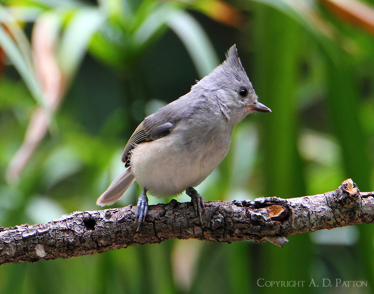 Adult tufted titmouse