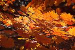 Korean maples in the Arnold Arboretum, Boston, MA
