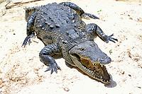 Morelet's crocodile, or Belizean, Central American, or Mexican crocodile, Crocodylus moreletii (c), Endangered Species, Mexico