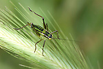 Tettigoniidae Bush-cricket Lesvos Island, Greece , lesbos