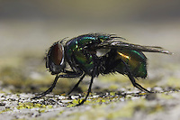 Green Bottle Fly, Phaenicia sericata, adult, Uvalde County, Hill Country, Texas, USA