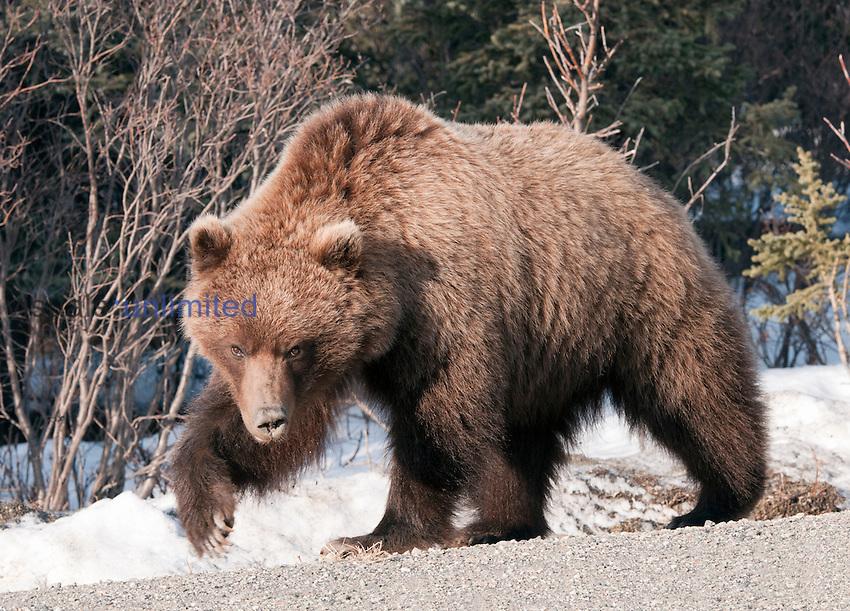 Brown Bear Or Grizzly Bear (Ursus arctos) just waking out of hibernation, Alaska, USA.