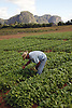 Tobacco seedlings growing on farm near Vinales; Cuba; prior to planting out; Mogote rock formation in background,