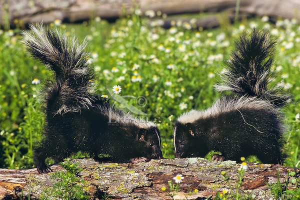 Young striped skunks (Mephitis mephitis) looking for insects in rotting log
