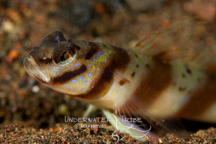 Diagonal Shrimp Goby, Amblyeleotris diagonalis, Seraya Secrets, Tulamben, Bali, Indonesia, Pacific Ocean