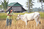 Korb Thouen feeds her cow in a field where she has just harvested her rice in Thnort Rorleung, a village in the Kampot region of Cambodia. She has used organic fertilizer to improve her soil fertility and increase her harvest.