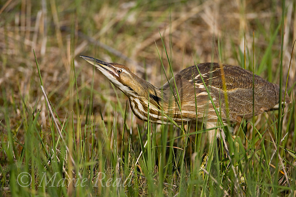 American Bittern (Botaurus lentiginosus), hunting for food amid wetland vegetation, Montezuma National Wildlife Refuge, New York, USA