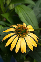 Echinacea purpurea Harvest Moon in yellow flowers coneflower