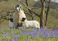 Andy Keiley's five-crop ewe with twin lambs in the May sun and Bluebells at  New Hey Farm, Dunsop Bridge, Lancashire. . She is one of the last of the Whitmoor flock of Pedigree Swaledales to lamb this year.