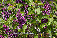 63821-21605 Lilac blooms  (Syringa sp) in spring at Lilacia Park, Lombard, IL