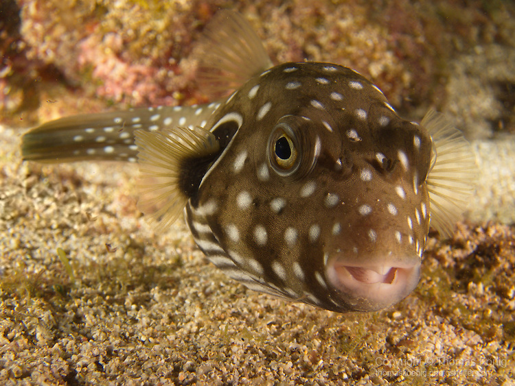 Kenting, Taiwan -- Reticulated pufferfish on a night dive.