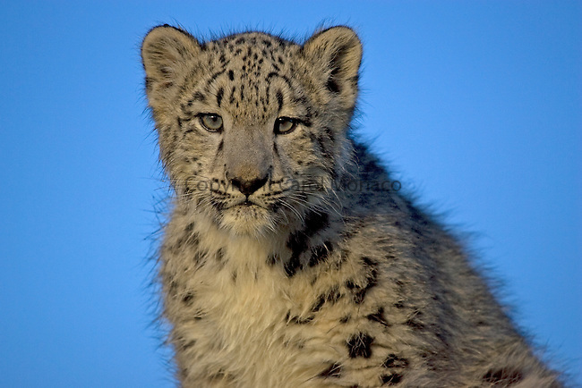 Closeup of a highly endangered snow leopard. Only an estimated 3500 to 7000 exist in the wild; they live in cliffs and ravines from 8000 to 17,000 feet in elevation.
