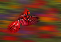 Northern Male cardinal,  in flight