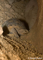 0609-1021  Desert Tortoise Sleeping in Underground Burrow to Rest and Escape Heat (Mojave Desert), Gopherus agassizii  © David Kuhn/Dwight Kuhn Photography