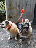 "Switzerland. Canton Ticino. Lugano. Close-up of a two dogs from the Pug breed on red leashes. The pug is a ""toy"" (small-lower medium) breed of dog with a wrinkly, short-muzzled face, and curled tail. The breed has a fine, glossy coat that comes in a variety of colors, and a compact square body with well-developed muscle. They have been described as multum in parvo (""much in little""), referring to the pug's personality and small size. 17.06.11 © 2011 Didier Ruef.."