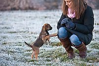 Border terrier puppy looking for a treat  during a winter stroll
