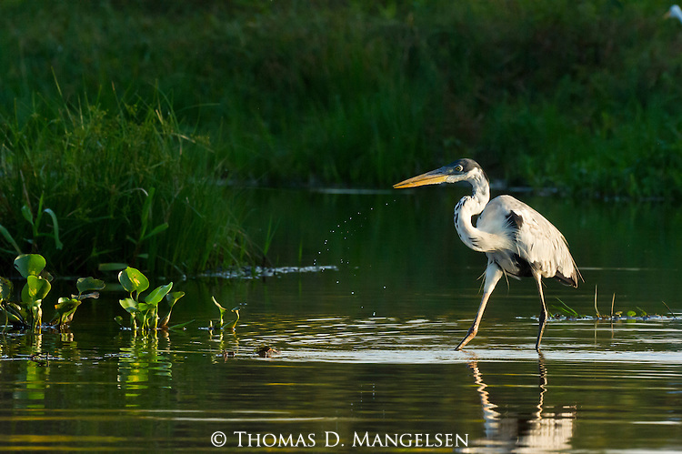 A great blue heron walks in a river in the Pantanal, Mato Grosso, Brazil.