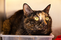 Vista, a tortoiseshell female domestic shorthair.  7031.