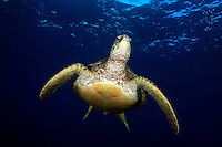 green sea turtle [Chelonia mydas] is on it?s way to the surface for a breath of air.  Hawaii. underwater endangered reef scene reptile ocean pacific maui ocean underwater, marine