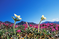 Narcissus-flowered anemone and Lapland rosebay, Denali National Park, Alaska