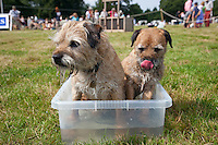 Guist, Norfolk, England, 09/08/2009..Two terriers cool off during Norfolk Dog Day at Sennowe Park.