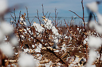 Old cotton remains on a plant on a cotton field owned by Travis Patterson (cq) near Spearman, Texas, Tuesday, February 15, 2011. With the high price of cotton in recent years, many farmers in the area have switched to start farming cotton...Photo by Matt Nager