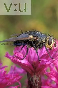 Tachinid Fly ,Echinomyia algens, on a flower, Ohio.