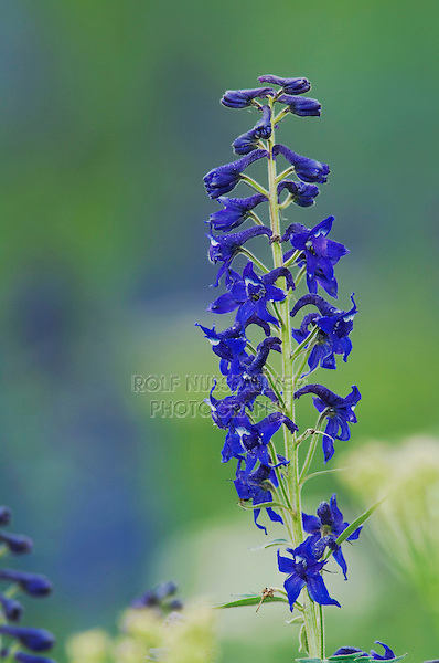 Tall Larkspur,Delphinium barbeyi, Ouray, San Juan Mountains, Rocky Mountains, Colorado, USA, July 2007