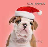 Kim, CHRISTMAS ANIMALS, photos,+Cute bulldog pup, 5 weeks old, wearing a Father Christmas hat on red background.,++++,GBJBWP39239,#xa#