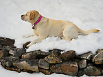 Yellow labrador lying in snow above stone retaining wall.