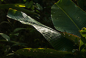 Aldeia Baú, Para State, Brazil. A wet leaf catches the light.