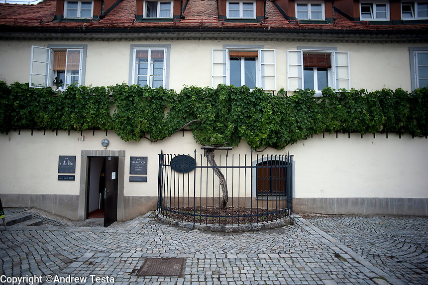 SLOVENIA. Maribor. 25th July 2011.<br /> The world's oldest vine in Maribor. It was planted over 400 years ago.<br /> &copy;Andrew Testa for the New York Times