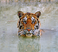 "The Indochinese tiger or Corbett's tiger (Panthera tigris corbetti) is a subspecies of tiger found in Cambodia, China, Laos, Burma, Thailand, and Vietnam. Tigers in peninsular Malaysia, formerly classified as Indochinese, have recently been reclassified as a separate subspecies, Malayan tiger Panthera tigris jacksoni. The ""Corbett's"" name stems from the scientific name of the subspecies, Panthera tigris corbetti, which in turn is named in honor of Jim Corbett..."