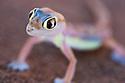 Namibia;  Namib Desert, Skeleton Coast, webfooted gecko, Palmato gecko (Pachydactylus rangei)