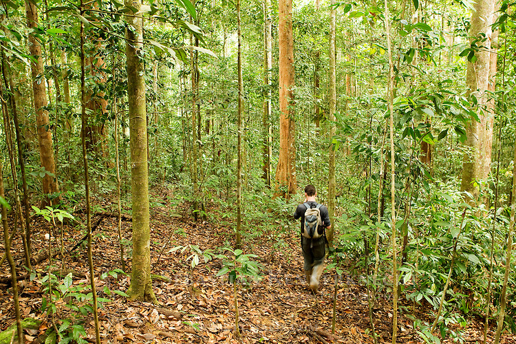 Bornean Clouded Leopard (Neofelis diardi borneensis) researcher Andy Hearn walking through lowland rainforest, Tawau Hills Park, Sabah, Borneo, Malaysia